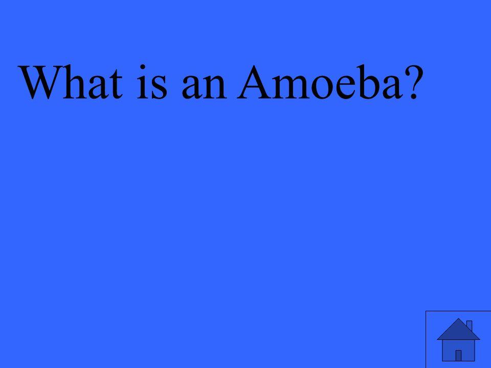 What is an Amoeba?