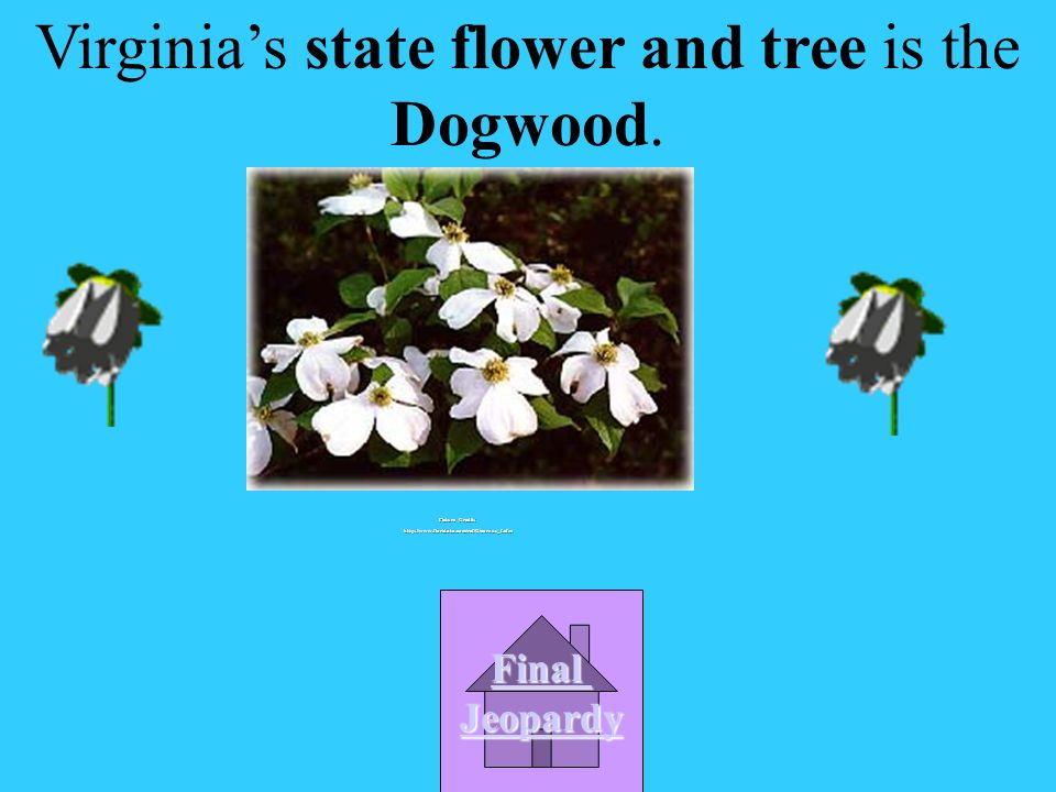 Virginias state flower and tree is the ____________.