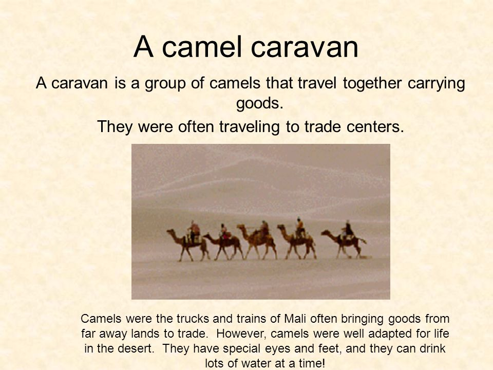 A camel caravan A caravan is a group of camels that travel together carrying goods.