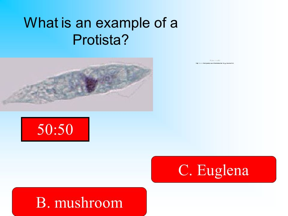 It has a tail called a flagellum! A. bacteria B. mushroomD. Cheese C. Euglena What is an example of a Protista? Picture Credit: http://www-biol.paisle
