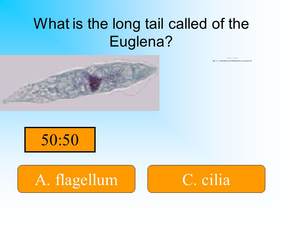 It is either A or C! A. flagellum B. cytoplasmD. tail C. cilia What is the long tail called of the Euglena? Picture Credit: http://www-biol.paisley.ac