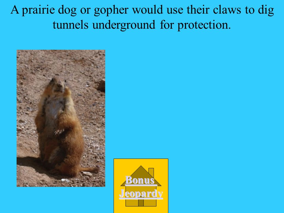 A prairie dog or gopher would use their claws to: A. Tear meat D. Dig tunnels C. Climb trees B. Swim