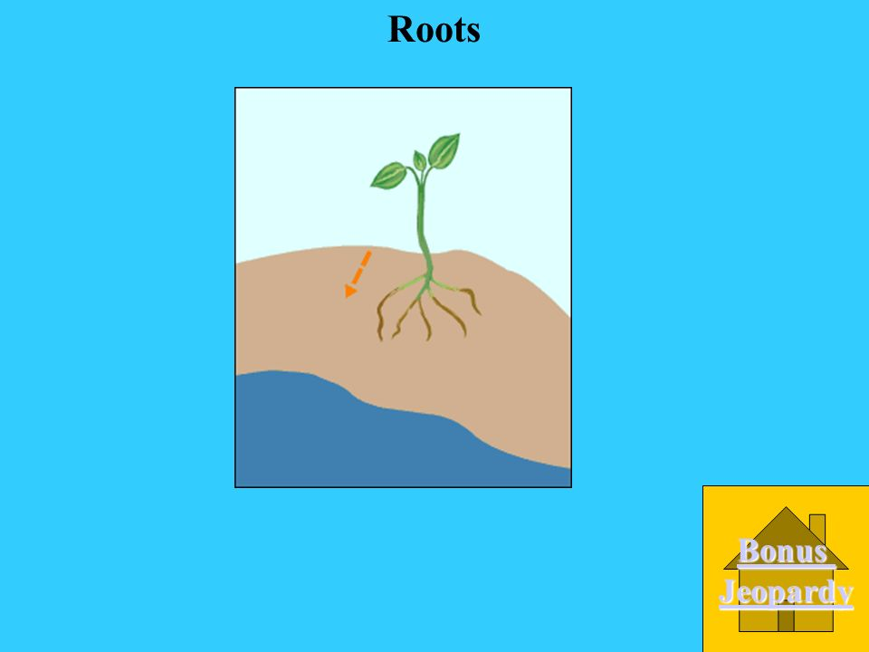 B. Leaves A. Stem C. Roots D. Flower What part of the plant grows under the soil and collects water from the soil?