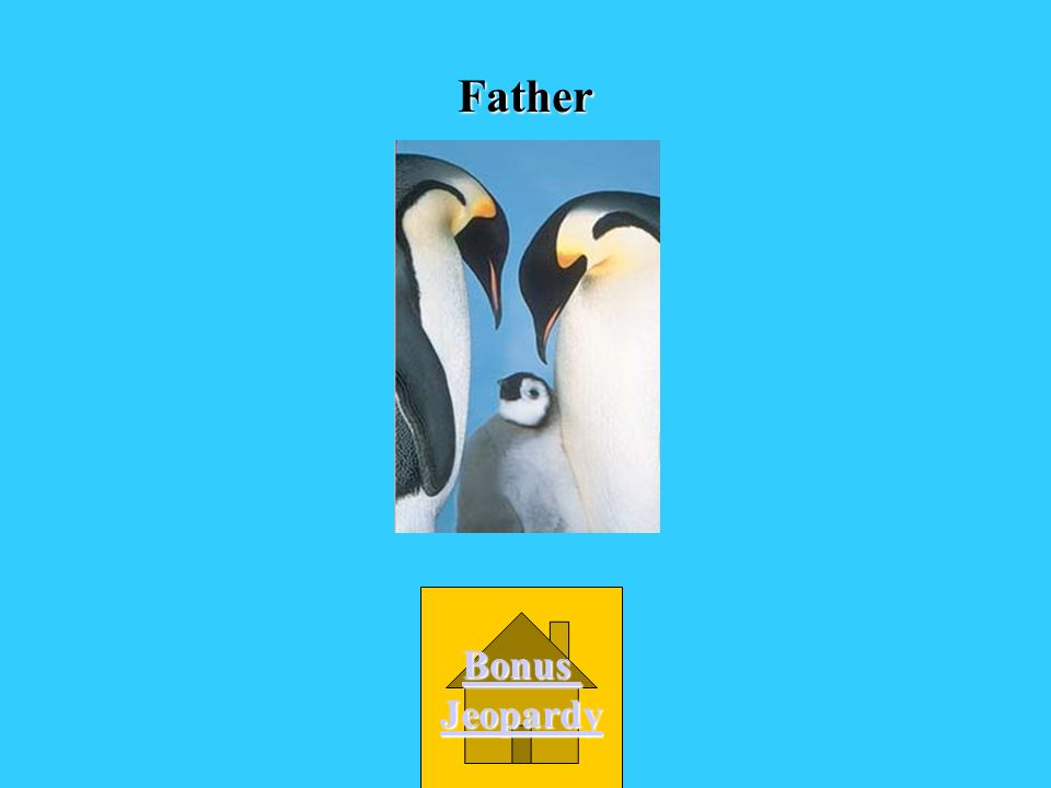 Who takes care of emperor penguin eggs? A. big, bad wolf B. The mother D. A babysitter C. The father
