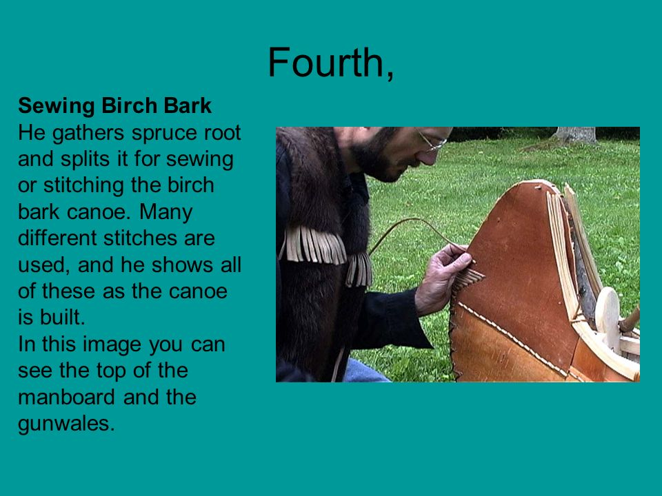 Fourth, Sewing Birch Bark He gathers spruce root and splits it for sewing or stitching the birch bark canoe. Many different stitches are used, and he