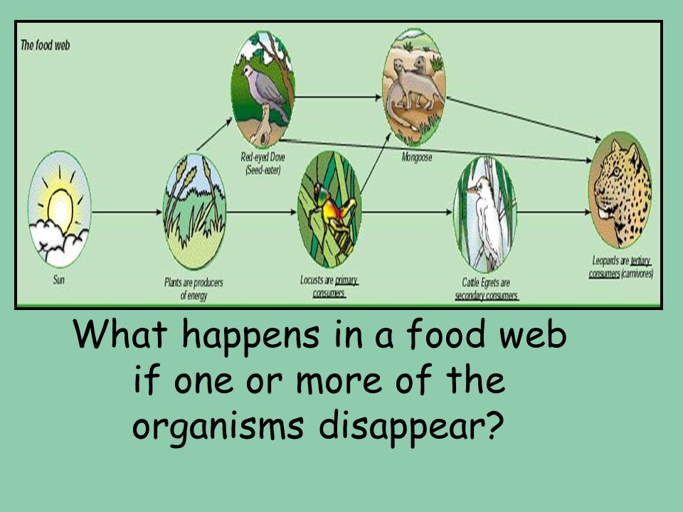 What happens in a food web if one or more of the organisms disappear?