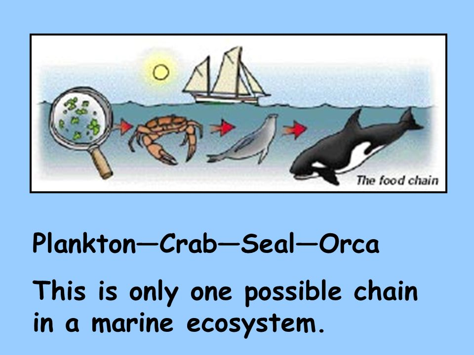 PlanktonCrabSealOrca This is only one possible chain in a marine ecosystem.