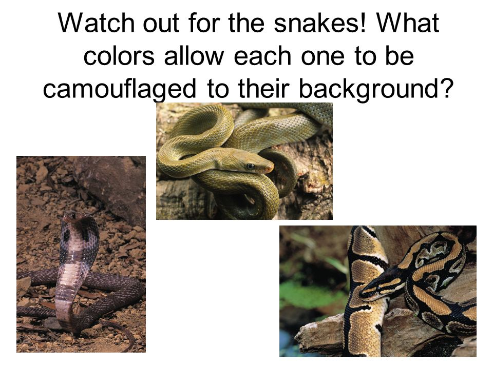 Watch out for the snakes! What colors allow each one to be camouflaged to their background?