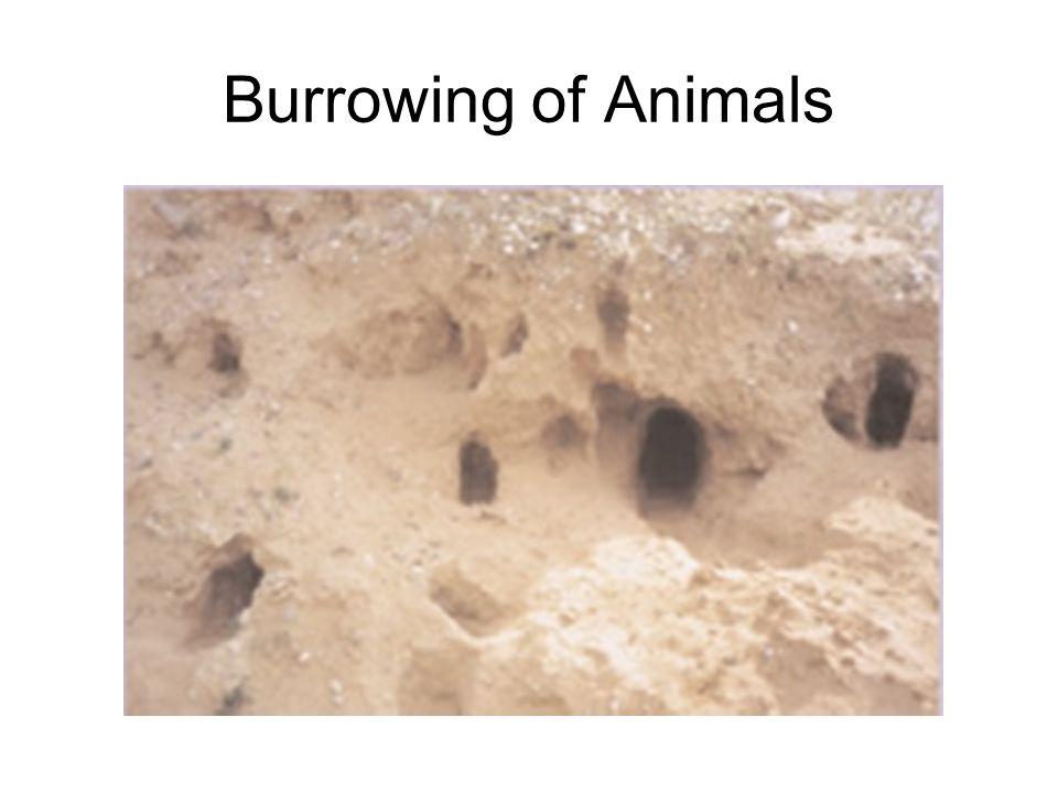 Burrowing of Animals