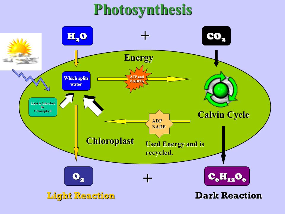 Photosynthesis H2OH2OH2OH2O CO 2 O2O2O2O2 C 6 H 12 O 6 Light Reaction Dark Reaction Light is Adsorbed ByChlorophyll Which splits water Chloroplast ATP