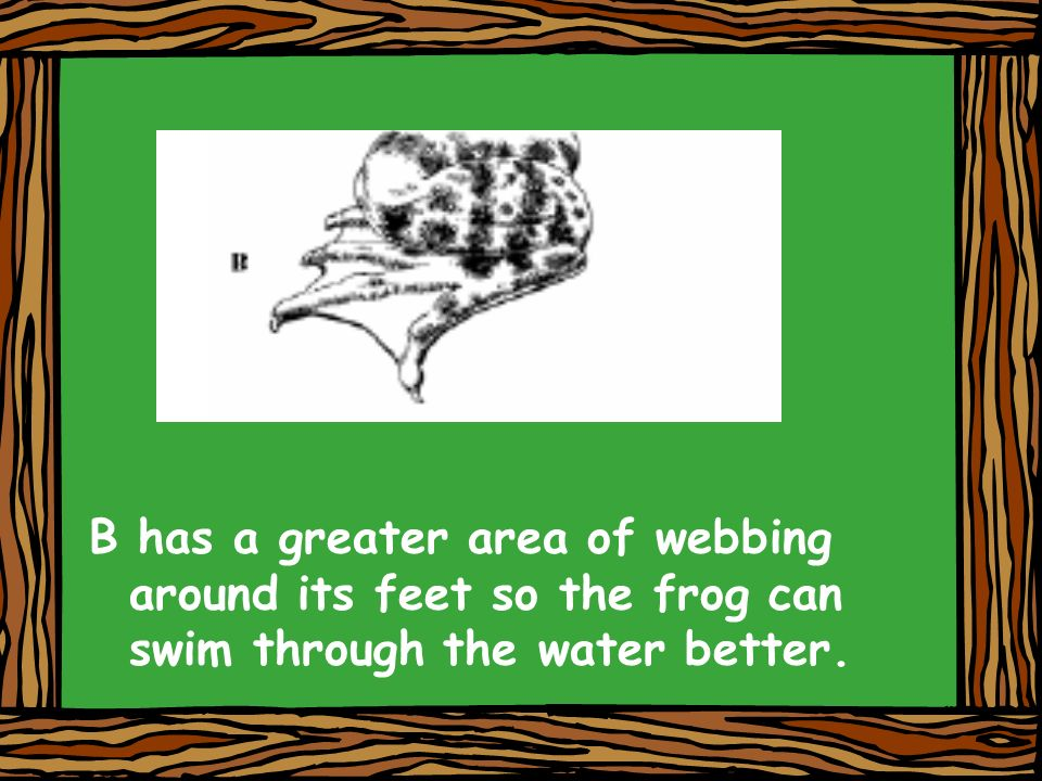 B has a greater area of webbing around its feet so the frog can swim through the water better.