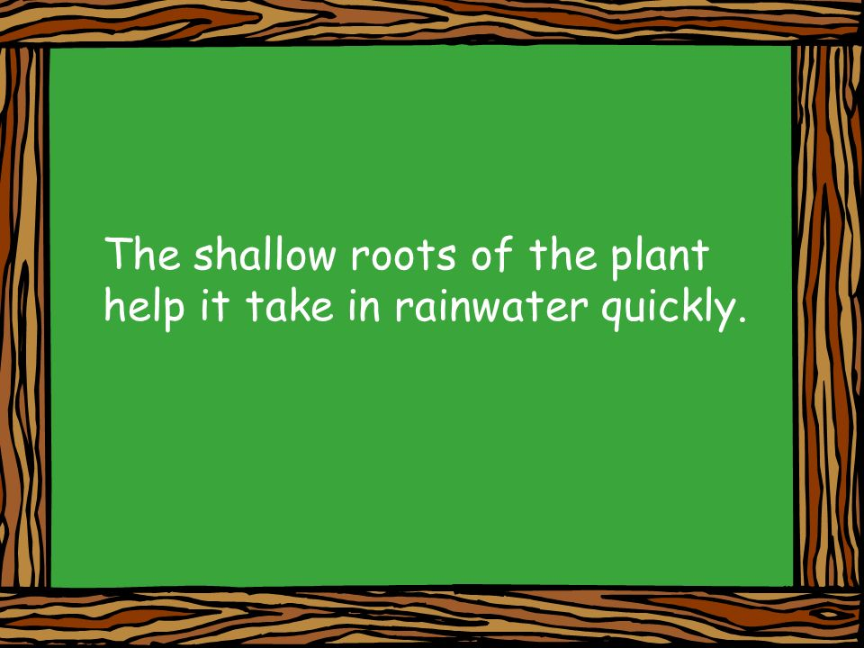 The shallow roots of the plant help it take in rainwater quickly.