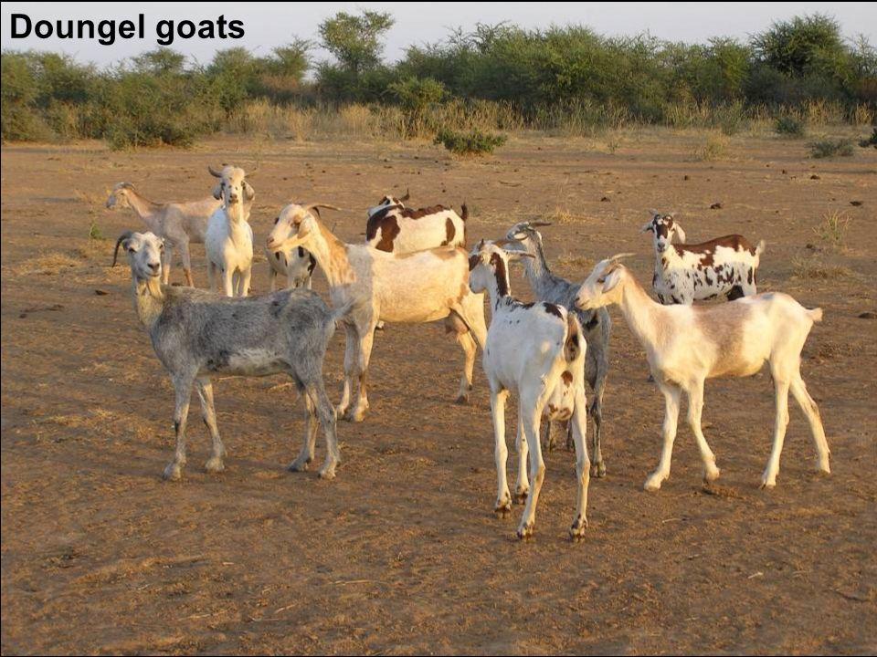 Doungel goats