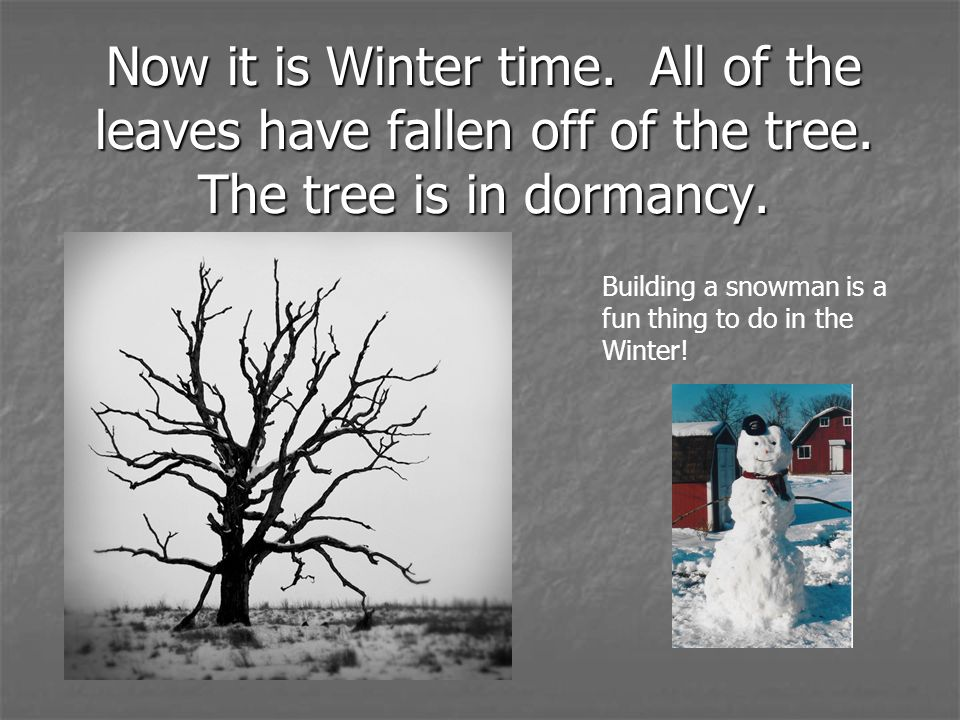 Now it is Winter time. All of the leaves have fallen off of the tree. The tree is in dormancy. Building a snowman is a fun thing to do in the Winter!