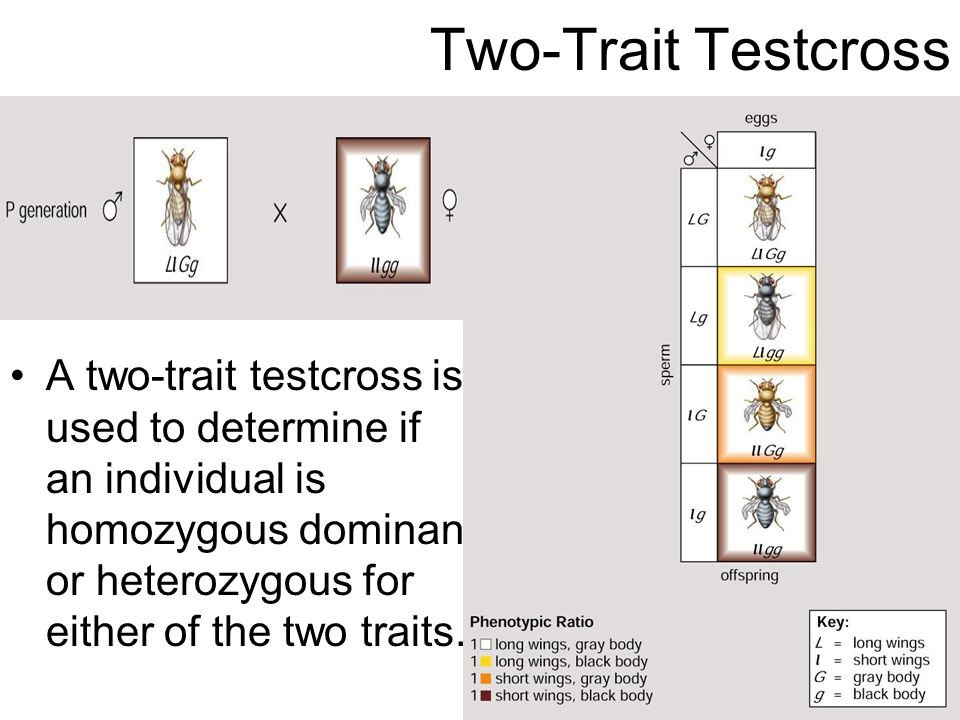 Two-Trait Testcross A two-trait testcross is used to determine if an individual is homozygous dominant or heterozygous for either of the two traits.