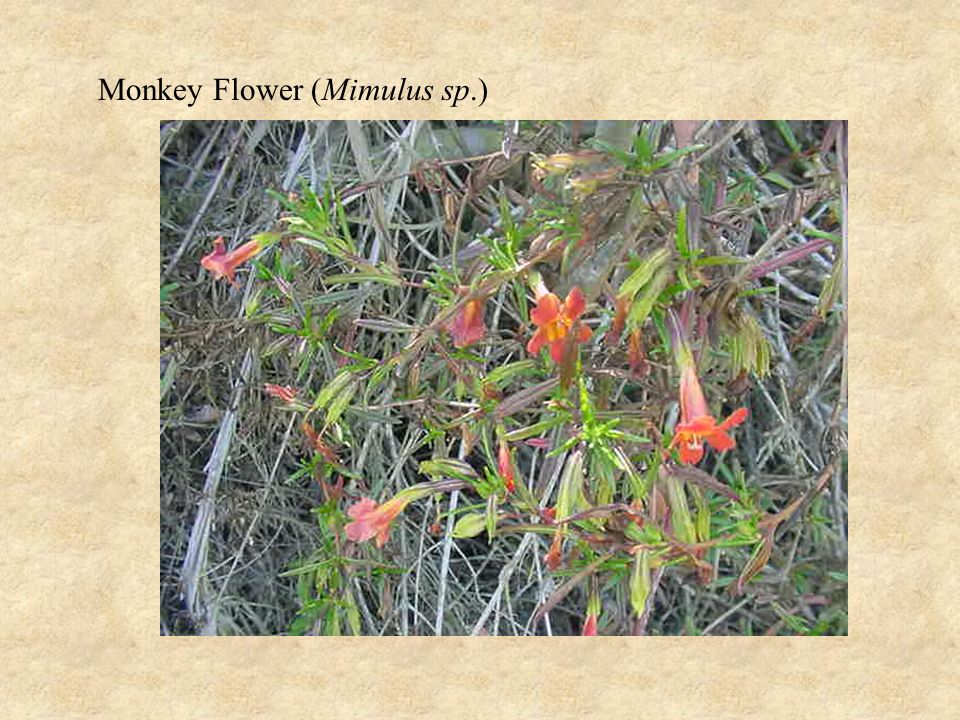 Monkey Flower (Mimulus sp.)