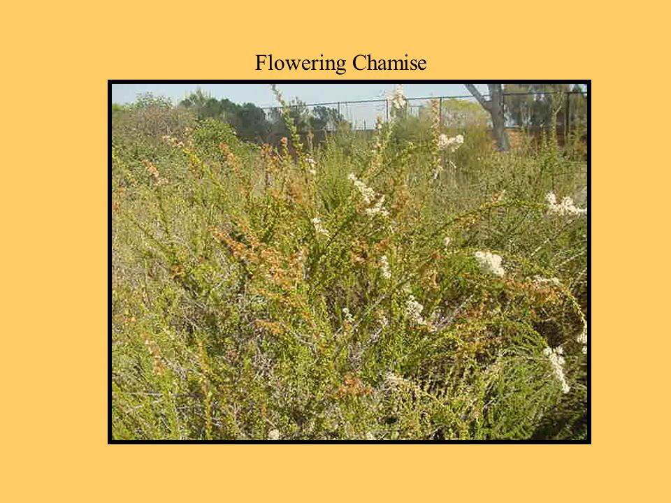 Flowering Chamise