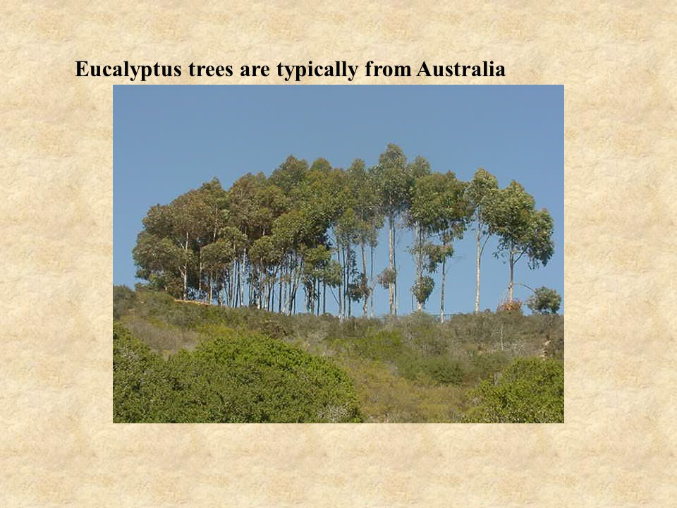 Eucalyptus trees are typically from Australia