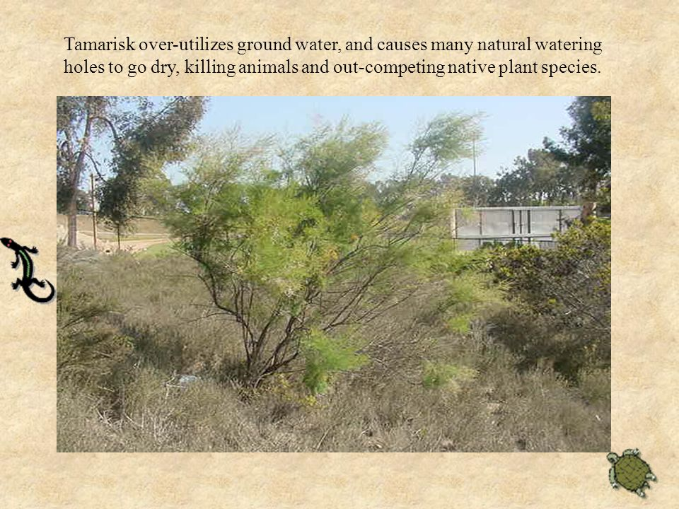 Tamarisk over-utilizes ground water, and causes many natural watering holes to go dry, killing animals and out-competing native plant species.