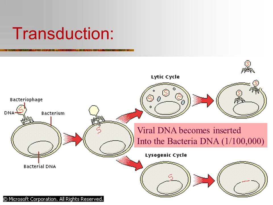 Lytic Cycle (Replication) of a Virus - AVIRAL 1.Adsorption of virus onto the host 2. Insertion of Virus DNA into host cell 3. Replication of Viral DNA