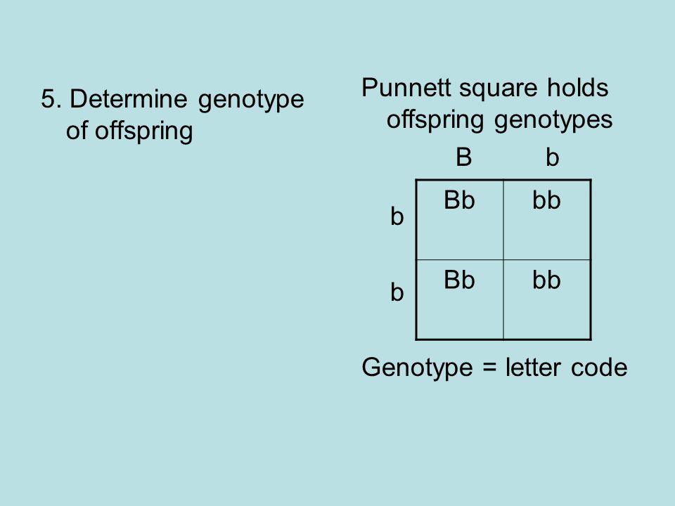 5. Determine genotype of offspring Punnett square holds offspring genotypes B b b Genotype = letter code Bbbb Bbbb