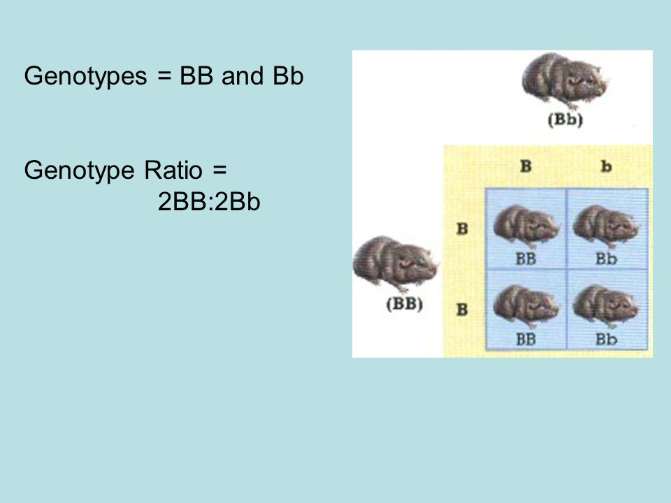 Genotypes = BB and Bb Genotype Ratio = 2BB:2Bb