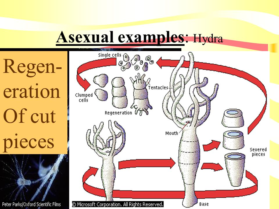 I1.Sexual/Asexual Reproduction Asexual Exact copy Mitosis One parent Constant conditions Sexual Genetic variety Meiosis = eggs & sperm Two parents Cha