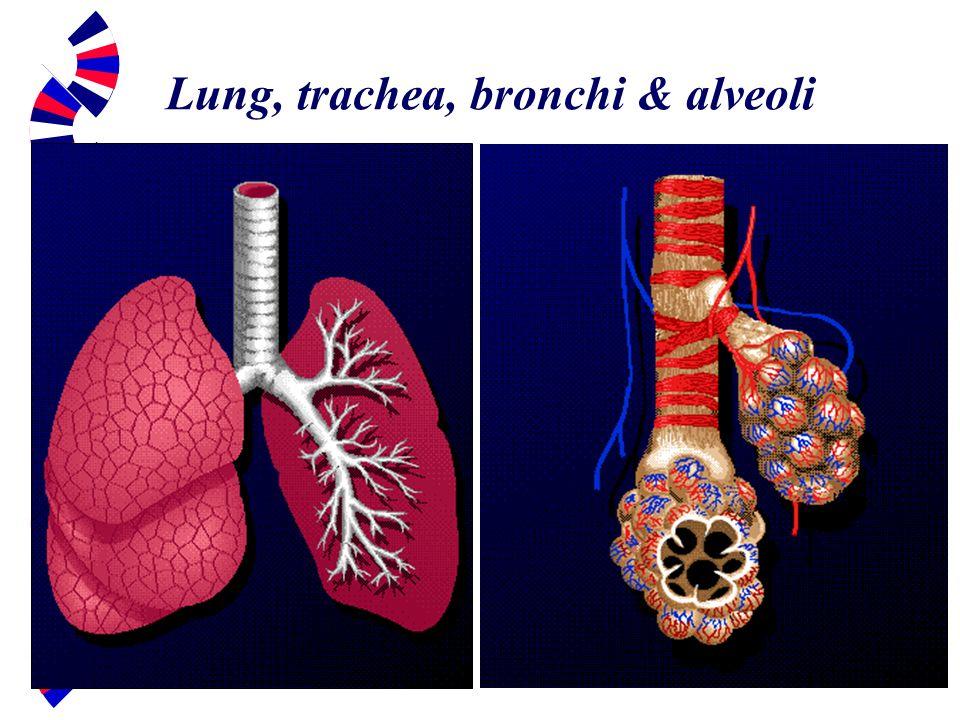 Lung, trachea, bronchi & alveoli