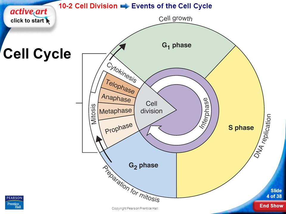 End Show 10-2 Cell Division Slide 4 of 38 Copyright Pearson Prentice Hall Cell Cycle Events of the Cell Cycle