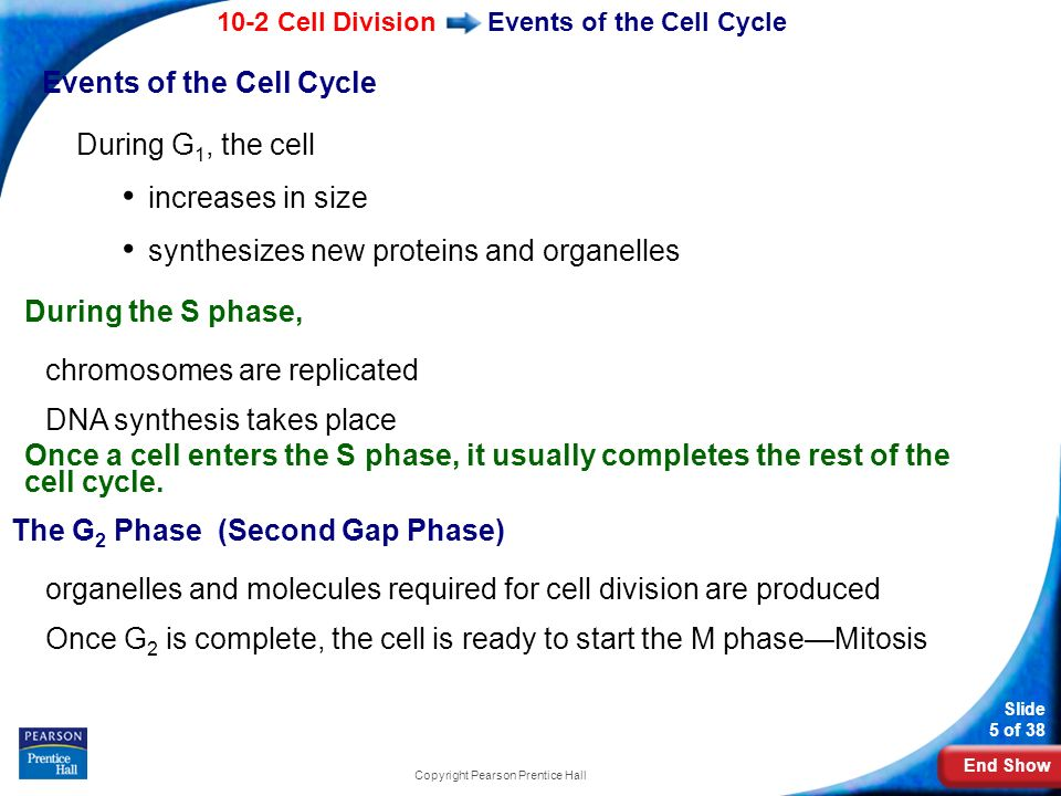 End Show 10-2 Cell Division Slide 5 of 38 Copyright Pearson Prentice Hall Events of the Cell Cycle During G 1, the cell increases in size synthesizes
