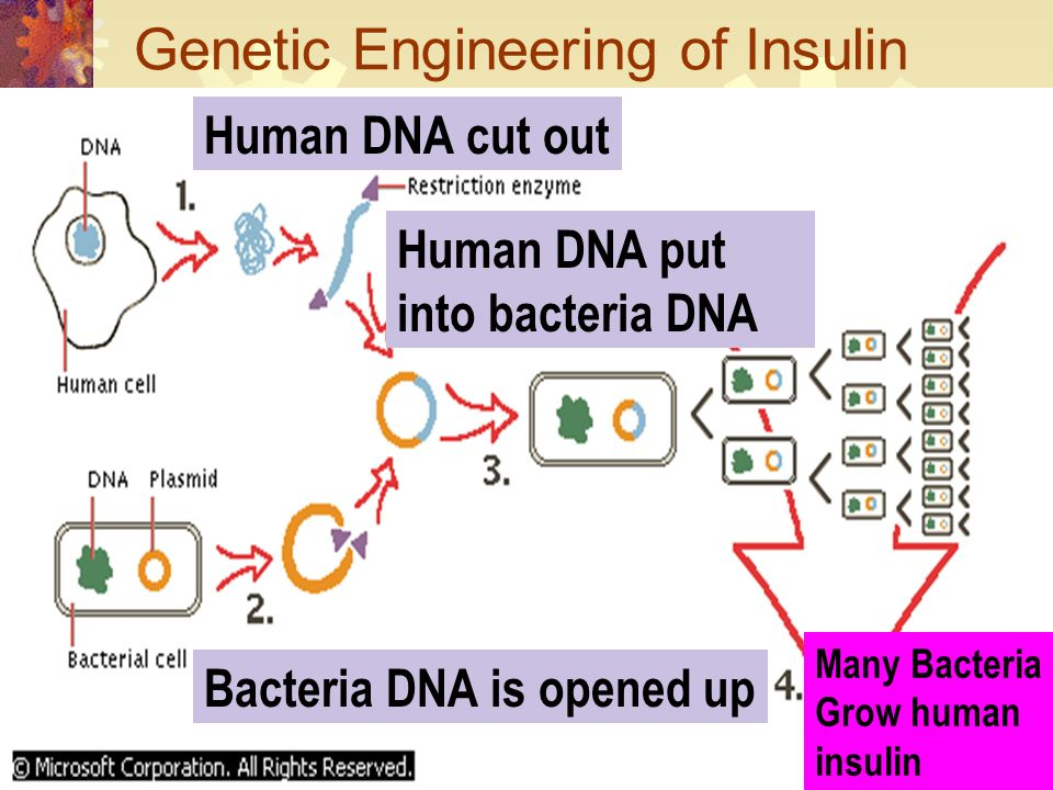 Recombinant DNA: Recombine Connecting or reconnecting DNA fragments DNA of two different organisms Example: lab of inserting human DNA into bacteria