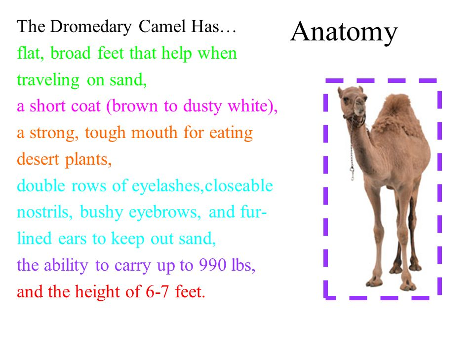 Anatomy The Dromedary Camel Has… flat, broad feet that help when traveling on sand, a short coat (brown to dusty white), a strong, tough mouth for eating desert plants, double rows of eyelashes,closeable nostrils, bushy eyebrows, and fur- lined ears to keep out sand, the ability to carry up to 990 lbs, and the height of 6-7 feet.