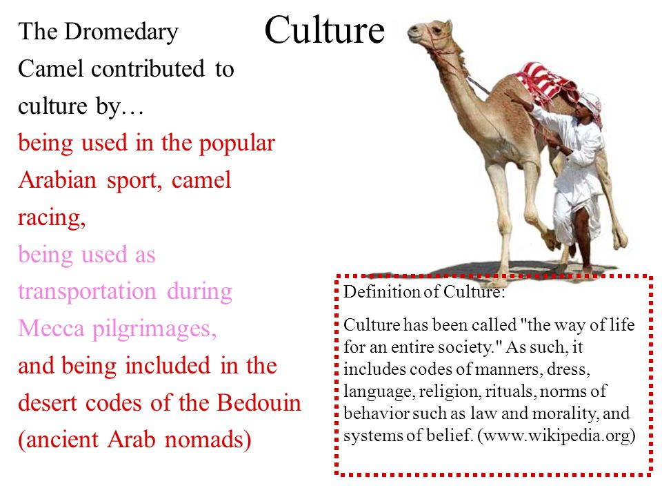The Dromedary Camel contributed to culture by… being used in the popular Arabian sport, camel racing, being used as transportation during Mecca pilgrimages, and being included in the desert codes of the Bedouin (ancient Arab nomads) Definition of Culture: Culture has been called the way of life for an entire society. As such, it includes codes of manners, dress, language, religion, rituals, norms of behavior such as law and morality, and systems of belief.