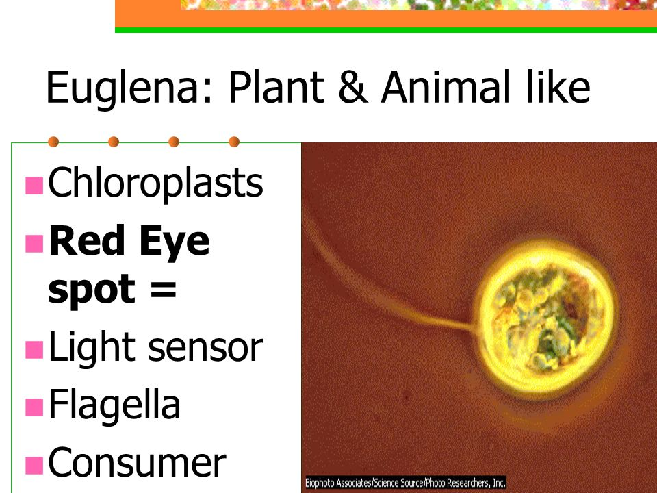 Dinoflagellates: Red Tide Bioluminescence Poisonous Animal Plankton Consumers