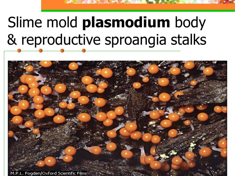 Slime Mold Plasmodium (body)