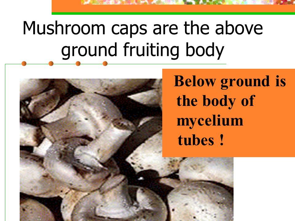 Mycelium & Hypha of a Fungus Mycelium body Hypha tubes