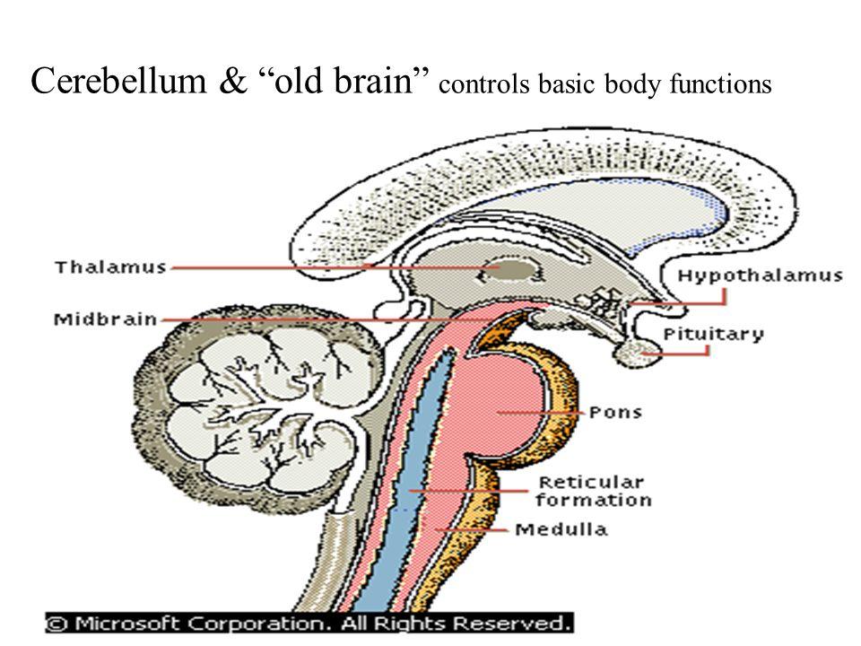 Parts of the Cerebrum