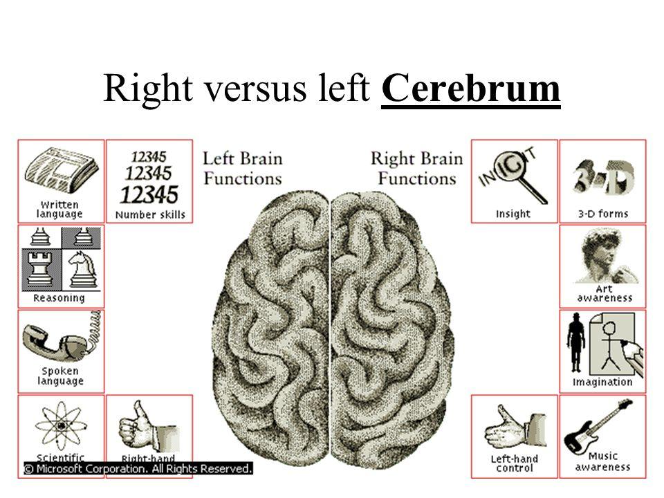 Cerebellum & old brain controls basic body functions