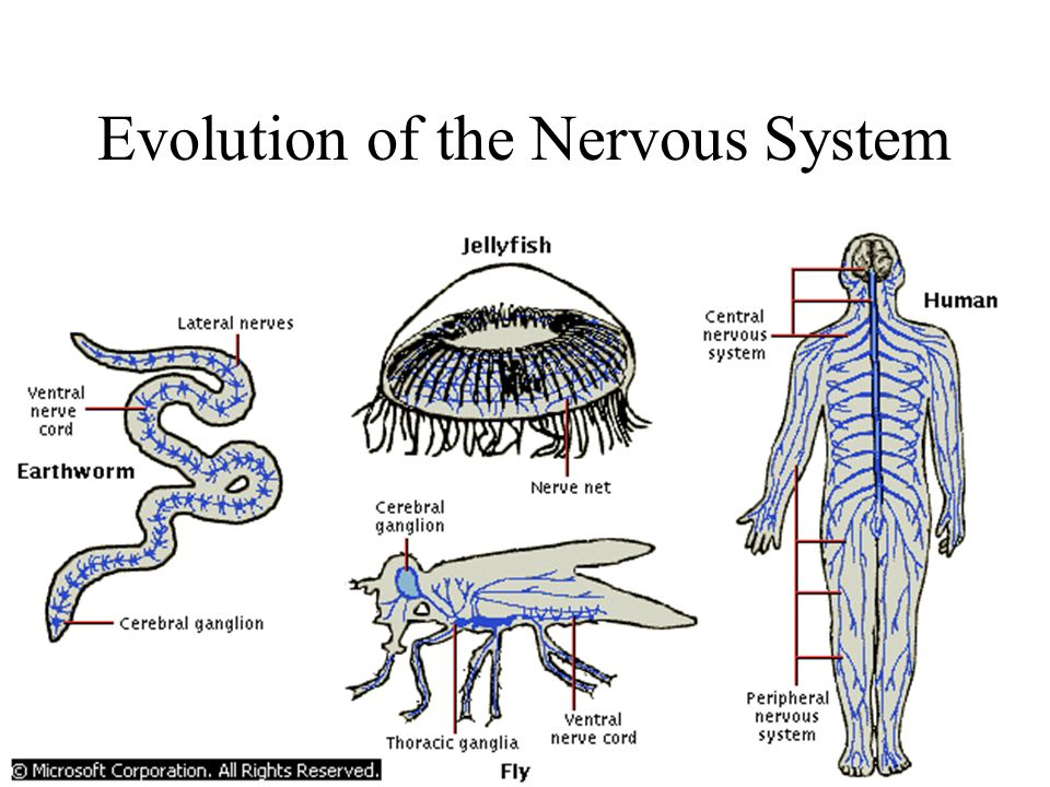 Chemical & Electrical Coordination Systems The Nervous System ……. Ch 36 Guide Life is in the eye of the beholder