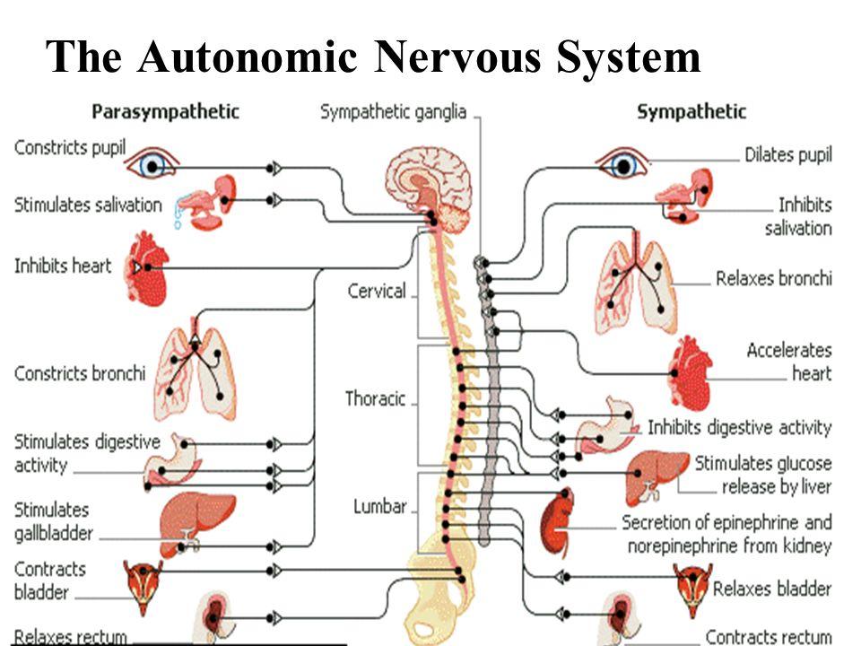 The involuntary system: Autonomic basic body functions & reflex arcs