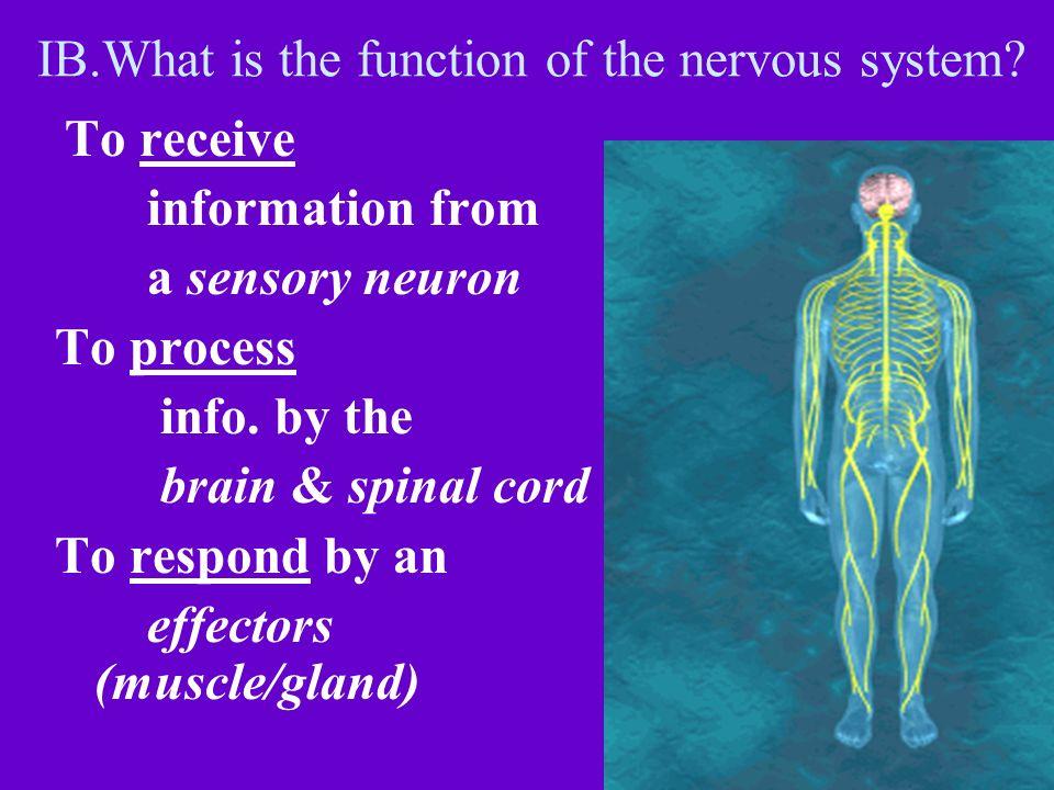 From brain Stem to Cerebrum