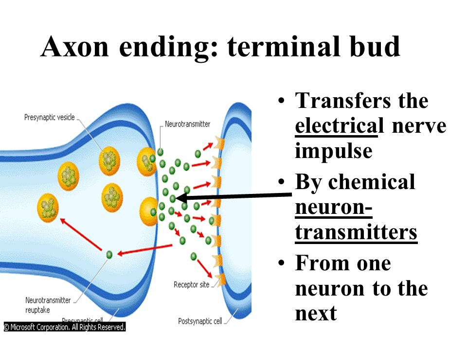 IA. The basic unit of the nervous system = neuron? Dendrites receive stimuli Nerve cell body @ nucleus transmits the stimuli Axon transmits the impuls