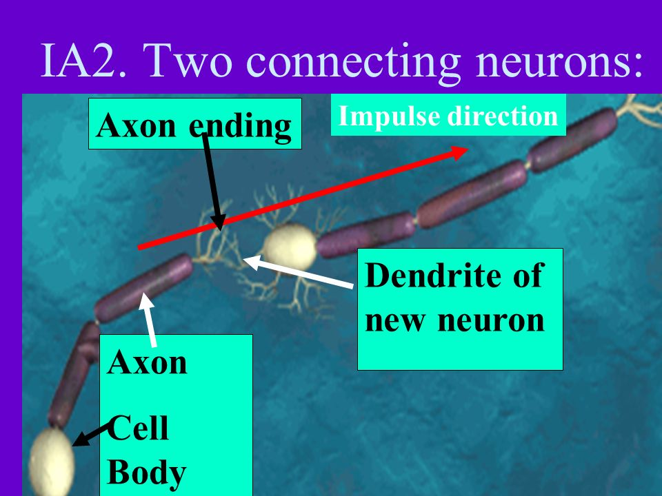 Axon ending: terminal bud Transfers the electrical nerve impulse By chemical neuron- transmitters From one neuron to the next