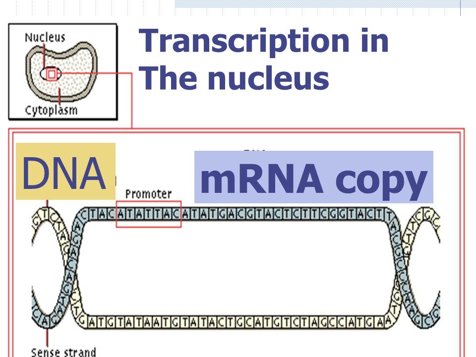 Transcription: mRNA has: Ribose sugar Uracil instead of thymine bases Nuclear membrane allows it to leave! DNA Code mRNA ATCGATCG UAGCUAGC