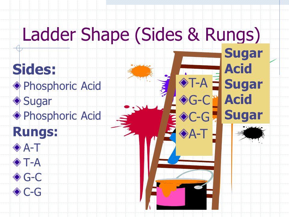 C. Structure of DNA 1. Nucleotides a. Phosphoric Acid b. Deoxyribose sugar c. Nitrogenous bases: Adenine-Thymine Guanine-Cytosine 2. Ladder Shape 3. D