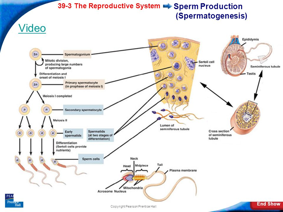 End Show 39-3 The Reproductive System Slide 10 of 41 Copyright Pearson Prentice Hall The Male Reproductive System A sperm cell consists of: a head, wh