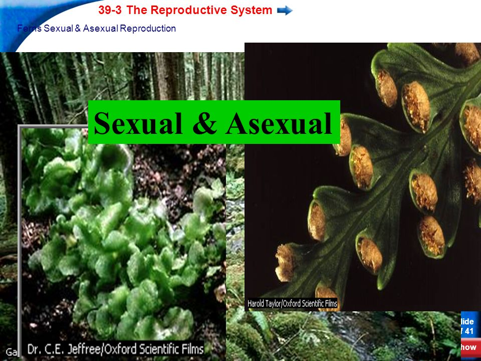 End Show 39-3 The Reproductive System Slide 7 of 41 Copyright Pearson Prentice Hall Flowering Plants Sexual Reproduction Dry Pollen For sperm