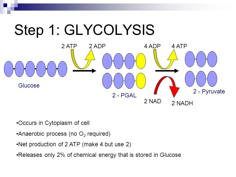 Step 1: GLYCOLYSIS 2 ATP2 ADP4 ADP4 ATP 2 NAD 2 NADH Glucose 2 - PGAL 2 - Pyruvate Occurs in Cytoplasm of cell Anaerobic process (no O 2 required) Net