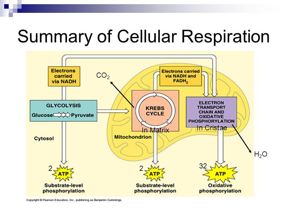Summary of Cellular Respiration 22 32 H2OH2O CO 2 In Matrix In Cristae