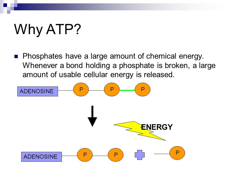 Why ATP? Phosphates have a large amount of chemical energy. Whenever a bond holding a phosphate is broken, a large amount of usable cellular energy is